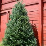 3 Tips for Keeping a Christmas Tree Alive