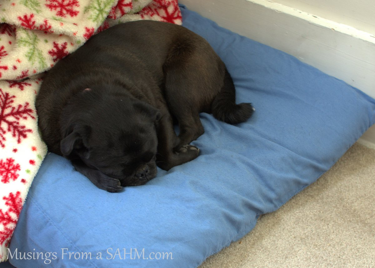 black pug on blue dog bed with blanket