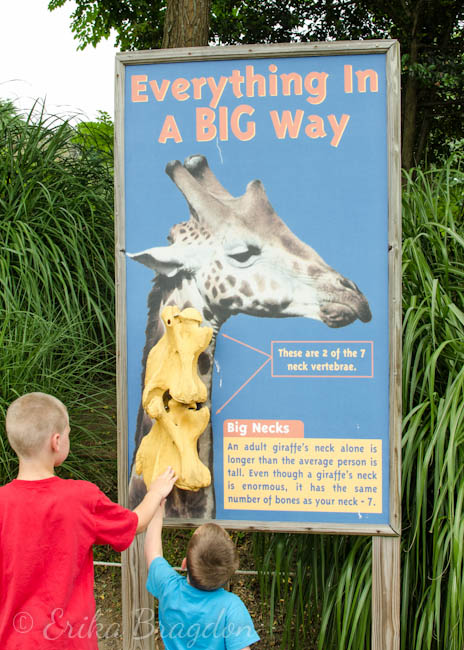 2 little boys touching a fossil display for a giraffes neck