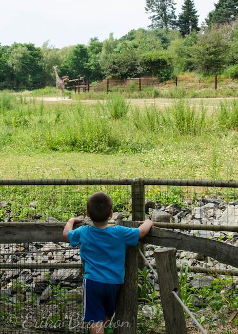 a little boy watching a giraffe walks around  in itshabitat
