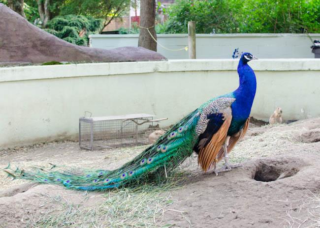 a peacock in the prairie dog exhibit