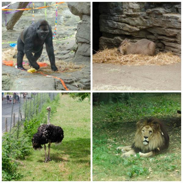A Gorilla, Capybara, Ostrich, and African Lion