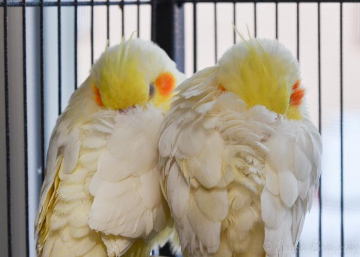 Cockatiels sleeping