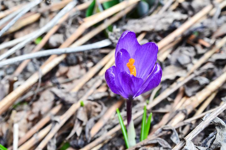 beautiful purple crocus