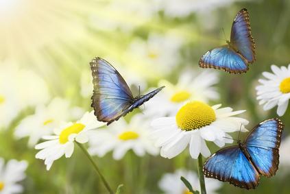 beautiful blue butterflies daisies