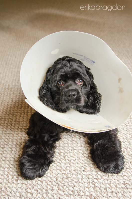 When Can I Take The Cone Off My Dog