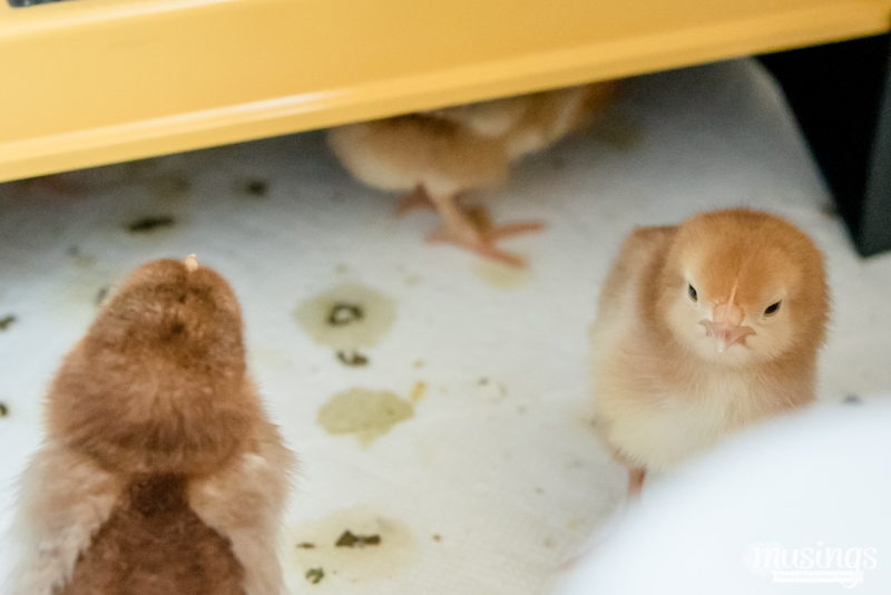 How to make a simple chick brooder   raising chickens