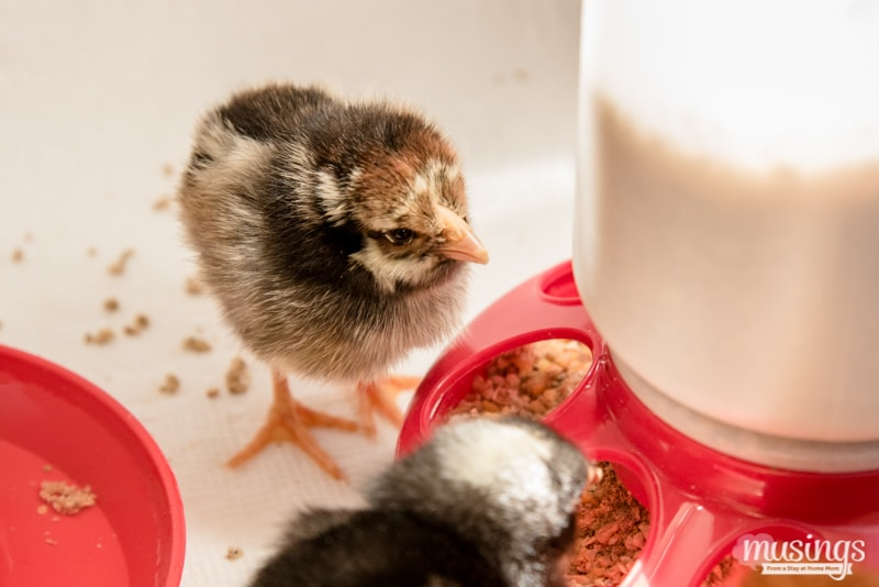 Silver Laced Wyandotte chick - How to make a simple chick brooder   raising chickens