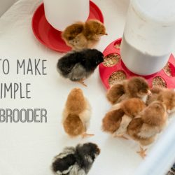 Our New Chicks + How to Make a Chick Brooder