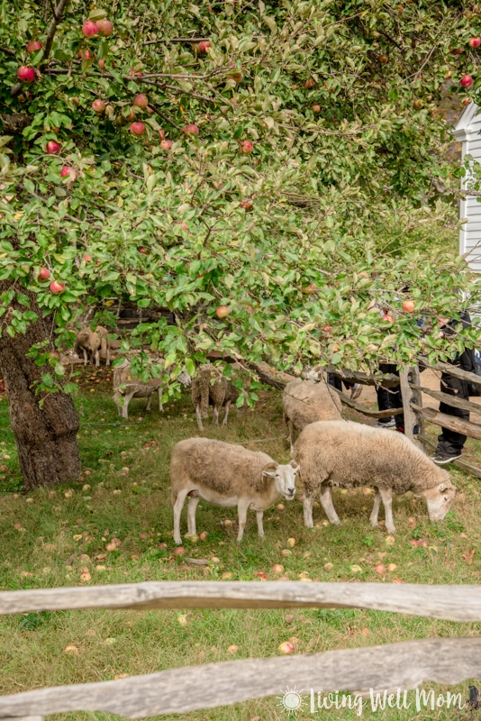 Old Sturbridge Village sheep