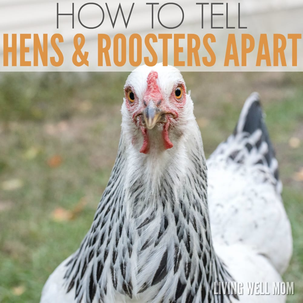 how-to-tell-hens-and-roosters-apart-2
