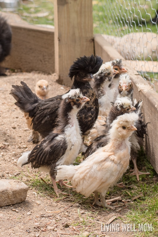 How to Tell Hens and Roosters apart - if you're new to raising chickens, it can be confusing to tell the boys and girls apart, especially when they are young. Here's some useful information and tips, plus the difference between a pullet and a hen!