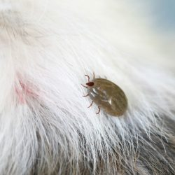 The Simple All-Natural Tick Repellent for Dogs