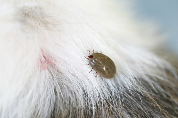 Got ticks? This simple, all-natural tick repellent for dogs is surprisingly effective and means you can avoid the toxic chemicals from typical repellents!