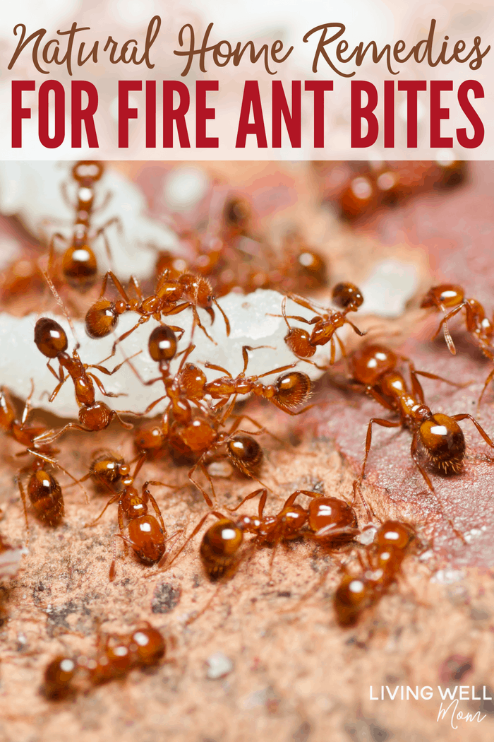 Best Natural Ant Remedy