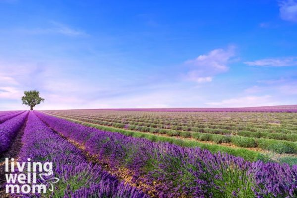 lavender fields growing for essential oils