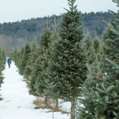 Row of fresh christmas trees