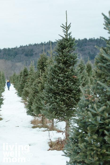 Row of fresh christmas trees