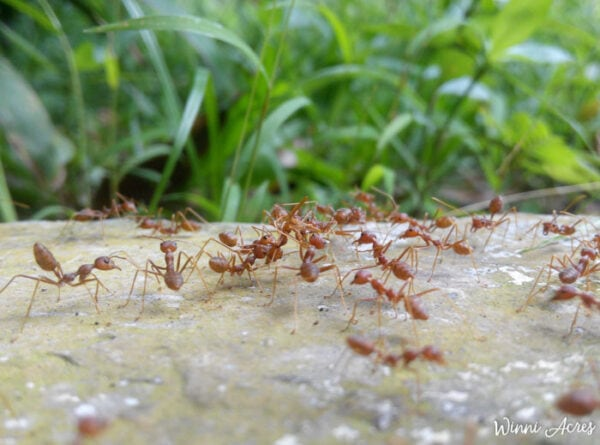 Fire ants on the ground