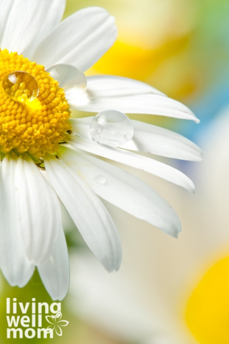 White daisy with dew on petals