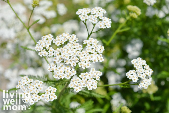 A close up of white yarrow flower