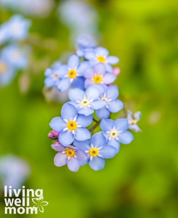 Small blue flowers with yellow centers