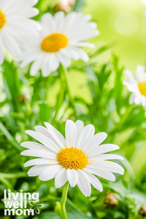 daisies blooming in a field